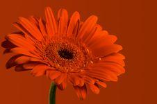 Free Red Gerbera Stock Image - 5865431