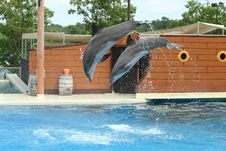 Two Dolphins Jumping Through The Air Royalty Free Stock Photos