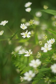 Wild White Flowers Stock Photography