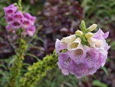 Foxglove(Digitalis Purpurea) Stock Image