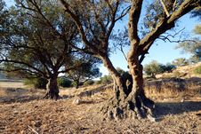 Aged Olive Tree Royalty Free Stock Photo