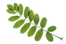 Free Leaves On White Royalty Free Stock Images - 5867459