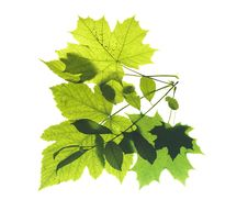 Free Leaves On White Stock Photography - 5867622