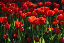 Free Blossoming Tulips Stock Photography - 5867912