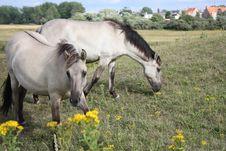 Free Wild White Horses Royalty Free Stock Photo - 5868465