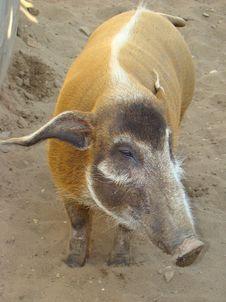 Brush An Ear Pig Potamochoerus Porcus Stock Photography