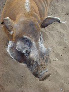 Brush An Ear Pig Potamochoerus Porcus Royalty Free Stock Photo