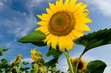 Free Sunflowers Royalty Free Stock Photo - 5869335