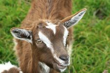 Free Brown Goat II Stock Photos - 5869353