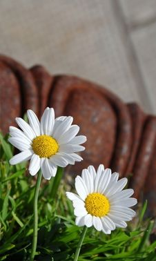 Free Two White Daisy Flowers Royalty Free Stock Image - 5869436