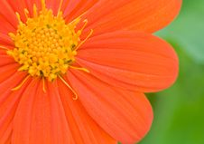 Orange Daisy Stock Photos