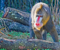 Free Mandrill Stalking Royalty Free Stock Photography - 5870767