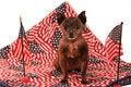 Free Patriotic Chihuahua - America Royalty Free Stock Photo - 5872655