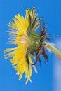 Free Yellow Dandelion Stock Photography - 5874862