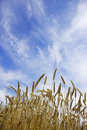 Free Wheat Stock Images - 5876774