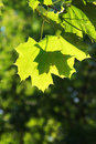 Free Green Maple Royalty Free Stock Image - 5877136