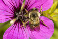 Free Bee On Purple Flower Royalty Free Stock Photography - 5878187