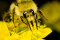 Free Bee Gathering Nectar Royalty Free Stock Image - 5878216