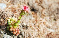 Free Mountain Flower Royalty Free Stock Photo - 5870175