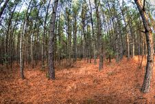 Free Pine Tree Forest Stock Photo - 5870580