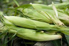 Free Corn Royalty Free Stock Photography - 5870807