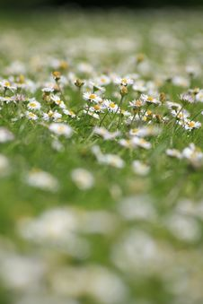 Free Lawn Of Daisies Stock Images - 5871194