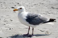 Free Seagull. Royalty Free Stock Photos - 5871538