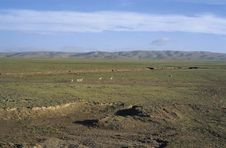 Free Oryx In Qinghai-Tibet Platean Stock Photography - 5871982