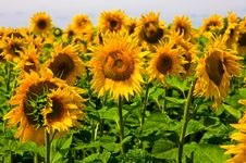 Free Sunflowers Royalty Free Stock Photo - 5872475