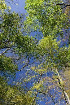 Free Fall Maple Trees Stock Photos - 5872543