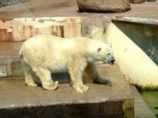 Free Polar Bear In A Zoo Royalty Free Stock Photos - 5873318