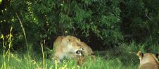 Free Lioness With Her Cubs Stock Photo - 5873630