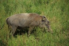 Free Warthog In The Grass Royalty Free Stock Photo - 5873765