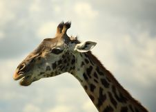 Free Side Portrait Of A Giraffe Royalty Free Stock Photo - 5873955