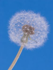 Free Dandelion On Blue Background Royalty Free Stock Images - 5874899