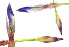 Free Irises Composition Stock Photo - 5874910