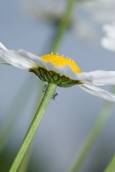 Free Daisy And Insects Royalty Free Stock Photo - 5874945