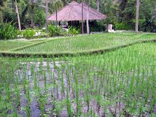Free Bali. Rice Bay Royalty Free Stock Photography - 5875707