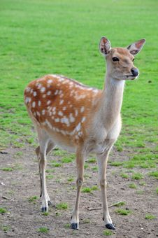Free Fallow Deer Stock Images - 5876444
