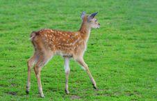 Free Fallow Deer Royalty Free Stock Photos - 5876478