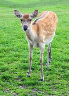 Free Fallow Deer Royalty Free Stock Images - 5876549
