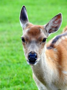 Free Fallow Deer Royalty Free Stock Photography - 5876557