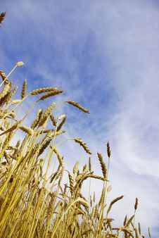 Free Wheat Royalty Free Stock Photography - 5876687