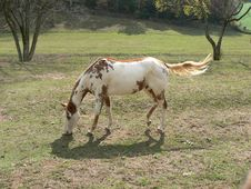 Spotted Horse Royalty Free Stock Photo