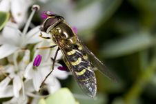 Free Hoverfly On Flower Stock Photos - 5878123