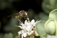 Hoverfly Feeding On Nectar Of Flower Royalty Free Stock Photography