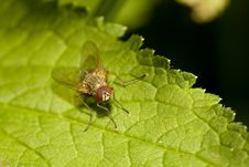 Fly Perched On Leaf Royalty Free Stock Photos