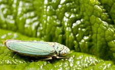 Leafhopper On Leaf Royalty Free Stock Photo