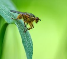 Free Orange Shaggy Fly Sits On A Green Leaf Stock Image - 5878981
