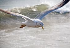 Free Gull Above Waves Royalty Free Stock Images - 5879019